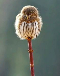 Northern Pygmy Owl (Glaucidium californicum) in Canada by Mark Hryciw.