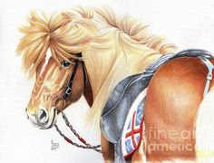 Icelandic Prince, Colored Pencil drawing by Carrie L. Lewis. Icelandic Horse.