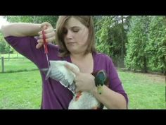 How to clip duck's wings. Very helpful! And she is funny :)