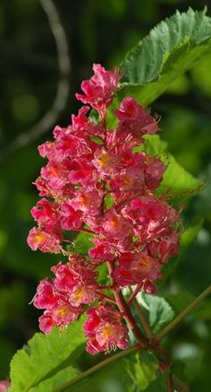 Picture of red chestnut tree. As the photo shows, red chestnut tree's flowers live up to the name.