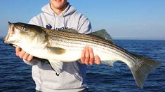 30 Best Striped Bass Lures and Baits in 2021 | By Captain Cody Bass Fishing Lures, Surf Fishing, Striped Bass Lures, Saltwater Fishing Gear, Bass Bait, Fish Bites, Fishing Guide, Bucket, Fishing Jig