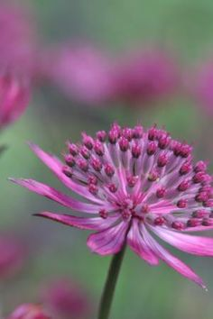 Astrantia 'Venice' is one of the darkest, richest crimson astrantia forms. It is fantastic for picking.     Butterflies and bees love these very long-flowering astrantias, blooming solidly from early summer to late autumn and excellent for cutting and drying.