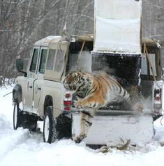 A Siberian (Amur) tiger bursts to freedom after being rescued from a poacher's snare in the Russian Far East.