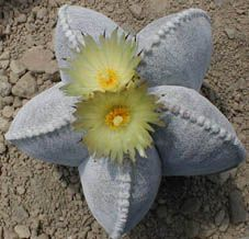 "Astrophytum myriostigma-Bishop's Cap Cactus, Hat or Bishop's Miter Cactus. From: northeastern & central Mexico. A spineless cactus-3 to 7 (usually five) vertical ribs. ""Star plant"", is derived from the resulting star-like shape). Creamy yellow, orange or red base & reddish fruit  6 years to flower."