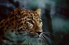 Picture of an amur leopard - (NGS Picture ID: 479059)