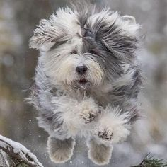 OLD ENGLISH SHEEPDOG....a large herding dog known for being friendly, gentle, intelligent, loving, loyal, playful, protective, and social....measures 22-24 inches & weighs 70-90 pounds.....good for children and new pet owners