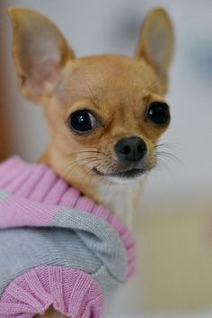 One of the prettiest chihuahuas I've ever seen! (besides my Anna!!!!) lol!!! Bet she's got attitude. #Chihuahua
