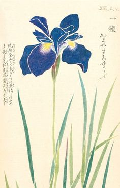 """Iris"" Honzo Zufu [Illustrated manual of medicinal plants] by Kan'en Iwasaki (1786-1842). Wood block print and manuscript on paper. Japan, 1828 © The Trustees of the Royal Botanic Gardens, Kew"