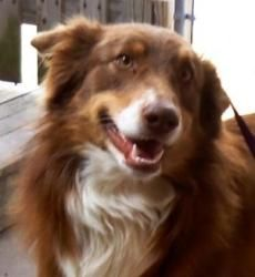 Merlin is an adoptable Australian Shepherd Dog in Neosho, MO. Merlins Story... He is 12 to 18 months of age and looks to be purebred Aussie. Merlin apparently suffered terribly injuries in his puppy ...