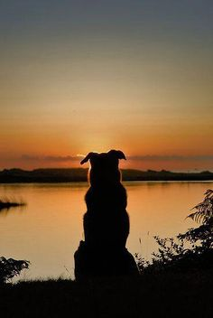 This could easily be a silhouette of my Jetta or Casey. All Dogs, I Love Dogs, Cute Dogs, Dogs And Puppies, Doggies, Silhouette Photography, Animal Photography, Photography Settings, Animals And Pets