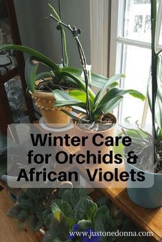 A little care for your orchids and African violets during the winter months will ensure healthy plants all year long.#howtocare fororchids #howtocareforafricanviolets