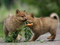 Koira sopeutuu uuteen ympäristöön helpommin pentuna kuin aikuisena.