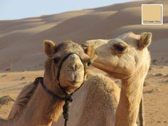 """Bei meiner Reise durch den Oman durfte natürlich eine Durchquerung der Wüste nicht fehlen. Zwei sehr neugierige Kamele kamen bis zum Fenster des Jeeps. Ob es Männchen und Weibchen waren weiß ich nicht, auf jeden Fall waren sie sehr vertraut miteinander. Der Kamel-Kuss inspirierte mich zu dem Farbton mit der Farbnummer 218 """"Camel´s Kiss"""".  Der warme helle Braun-Ton gehört nach den Prinzipie ..."""