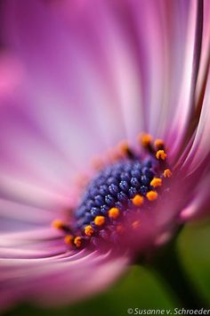 Macro Photography: This is the perfect gift for someone who loves flowers or loves to garden. A more abstract, dreamy, soft macro image of an African Daisy or Osteospermum. The blue center in these daisy flowers is quite unique. Macro Photography Tips, Nature Photography Flowers, Close Up Photography, Photography Backdrops, Photography Lighting, Beach Photography, Levitation Photography, Landscape Photography, Exposure Photography