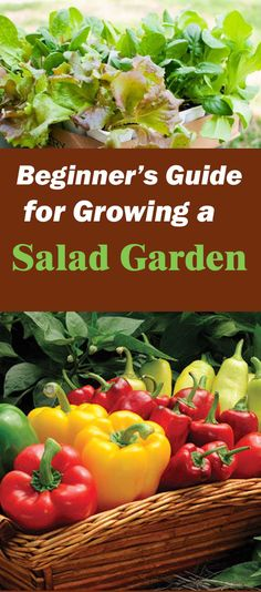 Learn how to make a salad garden. You don't need a lot of space or a regular garden. If you only have a patio or balcony and a few containers, you can still do this. When you think of salads: lettuce, arugula, carrots, radishes, peppers, tomatoes and spinach are the ones that come to mind.