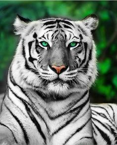 THE WHITE TIGER. 🐯  #instagram #instagrammers #igers #TagsForLikes #instalove #instamood #instagood #like #follow #comment #shoutout #photography #iphoneography #androidography #filter #filters #hipster #contests #photo #ig #igaddict #TFLers #photooftheday #blogmuratarik#picoftheday #bestoftheday #instadaily #instafamous #popularpage #popular