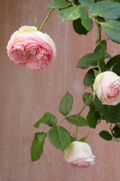 """I believe this is the David Austin rose :Evelyn""""- one of my best ones!"""