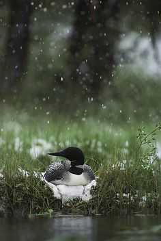 Snow falling on a loon