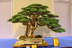 Premna Bonsai Premna Microphylla, Obtusifolia and Serratifolia - The premna is a sub-tropical plant native to the Indian subcontinent and South-east Asia. As you can see, there is very good reason for being a popular choices for Bonsai.