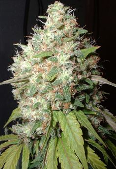 Endless Sky Marijuana The best seeds# http://www.spliffseeds.nl/silver-line/blue-berry-seeds.html