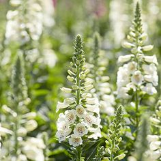 Perennial Flowers Bloom Guide | Costa Farms