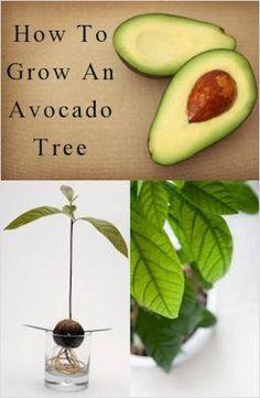 DIY How to Grow an Avocado Tree....