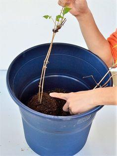 一鉢に2株植えて花いっぱいのクレマチスを咲かせよう! - GardenStory (ガーデンストーリー)