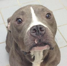 Meet Dottie, a Petfinder adoptable Pit Bull Terrier Dog   Hurst, TX   Dottie is very sweet girl loves people and food. She knows how to sit and shake on command.