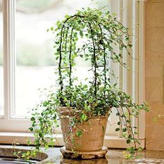 Another Fine Vine to Train Most topiaries at garden centers are created from English ivy (Hedera helix), but if you would like to make your own, start with an angle vine. It does well in bright-to-low light, indoor warmth, and slightly moist soil. Topiary Plants, Topiary Trees, Ivy Plants, Porch Topiary, Topiary Garden, Planters, Indoor Trees, Indoor Plants, Indoor Ivy
