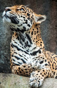 leopards are so gorgeous. Yes, but this is a Jaguar, not a leopard. Animals And Pets, Baby Animals, Cute Animals, Wild Animals, Big Cats, Cool Cats, Beautiful Cats, Animals Beautiful, Cat Reference