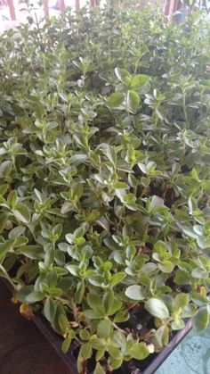 Lista nuestra plantula para trasplante en stwviakaahee®