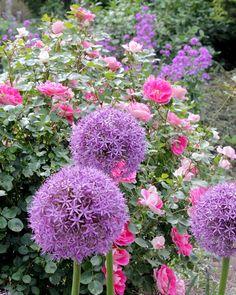 Roses and Allium at Overland Park Arboretum, Kansas City.