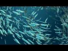 As Pacific fisheries managers to protect our fisheries! Forage Fish Key to a Healthy Ocean Food Web   Pew