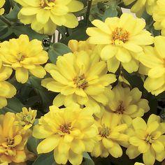 Zinnia Profusion Double Yellow Seeds
