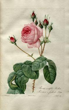 ARTEFACTS - antique images: roses