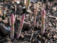 Plant these 6 perennial vegetables once, and reap their harvest year after year
