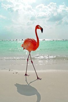 Watching a pink flamenco walking on the beach. #ocean #bird #summer