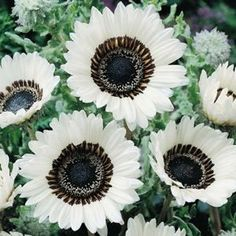 love daisies...and this is a must find. cape daisy.