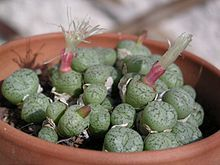 Conophytum - Wikipedia, the free encyclopedia