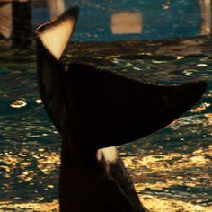 Shamu, killer whale at Sea World