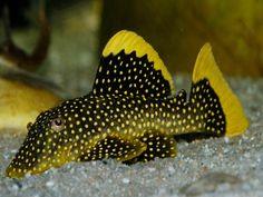 Plecostomus Gold Nugget Pleco Fish are a specialty of Aquarium Fish Sale. Tropical Fish Aquarium, Freshwater Aquarium Fish, Saltwater Aquarium, Aquarium Fish Tank, Fish Aquariums, Beautiful Tropical Fish, Beautiful Fish, Pleco Fish, Aquarium Catfish