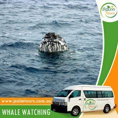 Whale Watching in Byron Bay  Come and join us for one of the most wonderful Eco Adventures!  Start planning your trip today, call us on 0499077053 or visit our website at www.palmtours.com.au to book your tour. You may also book at https://www.facebook.com/PalmToursAustralia/app_206826929430792.  #palmtours #whalewatching #byronbay #travel #byronbaytour #budgettour #traveltours #ecoadventure #humpbackwhales #whalewatchingtour