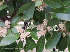 Blossoms on Cherry Laurel tree attacts bees. weedinwaterinwatchin.com