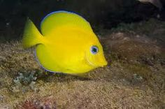 peixe brasileiro - Pesquisa Google