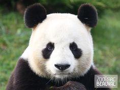 Yuan Zi, #panda géant du ZooParc de Beauval, formant un couple avec une femelle prénommée Huan Huan. Les deux #pandas restent les seuls représentants de leur espèce en France.