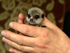 Outcast Charlie the Meerkat's Second Chance