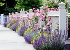 Front Yard Plants. Front Yard Plant Ideas. The chartreuse is Lady's Mantle, Pink roses, lavender catmint or nepeta and the darker purple is a salvia. #FrontYard #Plants #Garden #Landscaping Dabah Landscape Designs