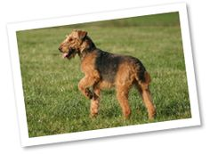 Airedale Terrier: Originating in the 1800s in England, this King of Terriers was a versatile hunter. Its job was hunting badgers, rats, foxes, otters, and retrieving birds. Today, this dog is excellent for being guarding and protecting as well as working as a police dog. They are adventurous, playful, intelligent, and are protective companions.