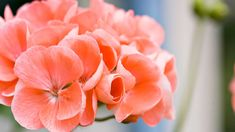 Pioni – katso pionin istutus-, lannoitus- ja hoitovinkit! - Kotiliesi.fi Rose, Flowers, Plants, Pink, Roses, Flora, Plant, Royal Icing Flowers, Flower