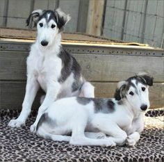 Borzoi Puppy Pictures